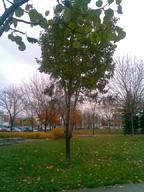 Tree in Crombie Park across from Market Lane School is Rec Centre's memorial to Amman Tesfaldet.