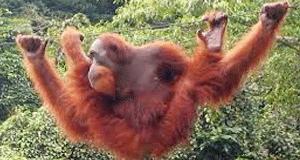 orangutan-FI