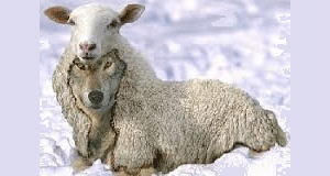 Wolf-in-sheep-clothing-FI
