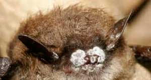 Bat afflicted with white nose disease